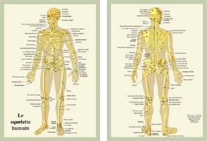 Planche cellophanée le Squelette humain (A4 double) 7b7c9b8475d